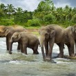 Asian Elephants - Stock Photo