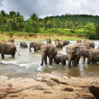 Asian Elephants — Stock Photo