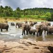 Asian Elephants — Stock Photo