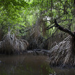 Royalty-Free Stock Photo: Mangrove swamps