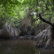 Mangrove swamps — Stock Photo