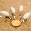 Four egrets - Stock Photo