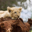 White Lion Cub — Stockfoto