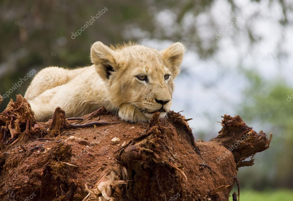 Young white lion cub resting on a tree stump. — Stock Photo #1543028