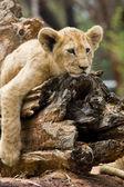 Lion Cub resting — Stock Photo