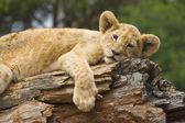 Lion Cub resting on a log — Stock Photo