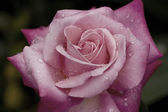 Dusty Pink Rose with water droplets — Stock Photo