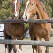 Chestnut horses — Stock Photo