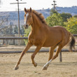 Chestnut horse cantering. — Stock Photo