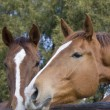 Chestnut horses 2 — Stock Photo