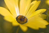 Close-Up of Namaqualand Daisy — Stock Photo