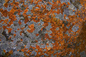 Colourful Lichen growing on rocks — Stock Photo