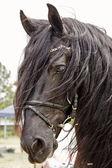 Freisian Stallion — Stock Photo