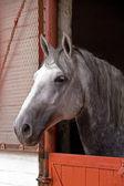 Lippizaner Stallion — Stock Photo