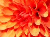 Red dalia — Stock Photo