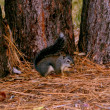 Gray Squirrel (Sciurus griseus) 003 — Stock Photo