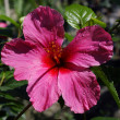 Stock Photo: Hibiscus (Hibiscus rosa-sinensis)