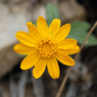 Sunray (Enceliopsis nudicaulis) — Stock Photo