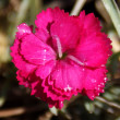 Stock Photo: Sweet William (Dianthus barbatus)