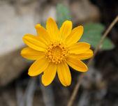 Sunray (Enceliopsis nudicaulis) — Stock Photo