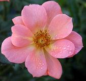 Wild Rose (Rosa acicularis) — Zdjęcie stockowe