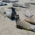 Northern Elephant Seals 003 — Stock Photo
