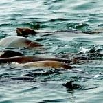 Northern Elephant Seals 005 — Stock Photo