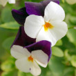 Horned Violet or Tufted pansy 001 — Photo
