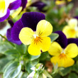 Horned Violet or Tufted Pansy 002 — Photo