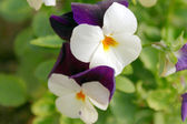 Horned Violet or Tufted pansy 001 — Stockfoto