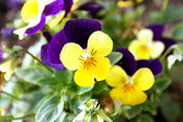 Horned Violet or Tufted Pansy 002 — Stockfoto
