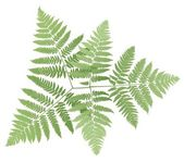 Fern — Stock Vector