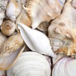 Foto Stock: Seashells