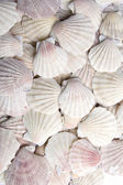 White scallops — Stock fotografie