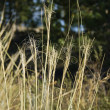 Stock Photo: Sapless stems of grass with tendril