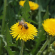 Bee on the dandelion — Stock Photo