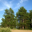 Pine tree on sand beac — Stock Photo #1558793