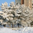 Snow-covered trees — Stock Photo #1559787