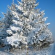 Snow-covered fir tree — Foto de Stock
