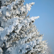 Fragment of snow-covered fir-tree - Stock Photo