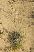Clumps of dune grass in sand — Stock Photo
