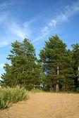 Pine tree on sand beac — Stock Photo