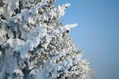 Fragment of snow-covered fir-tree — Stock Photo