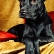 A labrador mix posing - Stock Photo