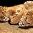 Stock Photo: Two lazy young lions