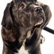 Cute cane corso dog looking up — Stock Photo #1557021