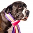 Sad looking cane corso dog — Stock Photo