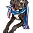 Cute cane corso dog wearing a shawl — Stock Photo