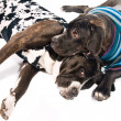 Two cane corso dogs dressed for winter — Stockfoto