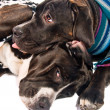 Stock Photo: Two cane corso dogs dressed for winter